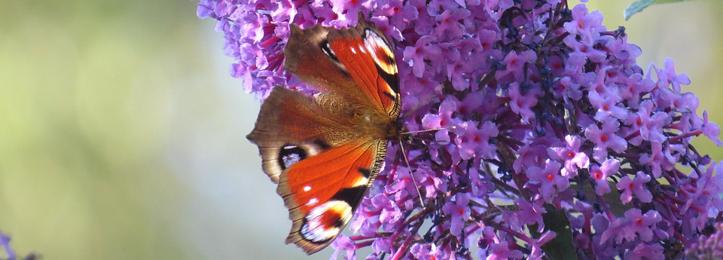 Sommerflieder, Schmetterlingsstrauch